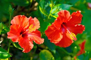 Give Hibiscus a Chance if you haveSun-Damaged Black Hair