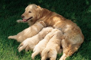 Pregnant and Lactating Dogs Need Specialised Diets to Get Enough Nutrients